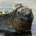 Marine Iguana - Photo (c) David Cook Wildlife Photography, some rights reserved (CC BY-NC)
