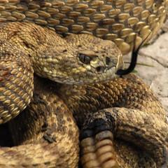 "Rattlesnake-""high two"""