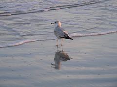 Sea Gull at Hilton Head