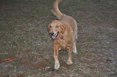 dog breed, animal, dog, pet, golden retriever, carnivoran,