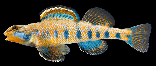 Etheostoma obama