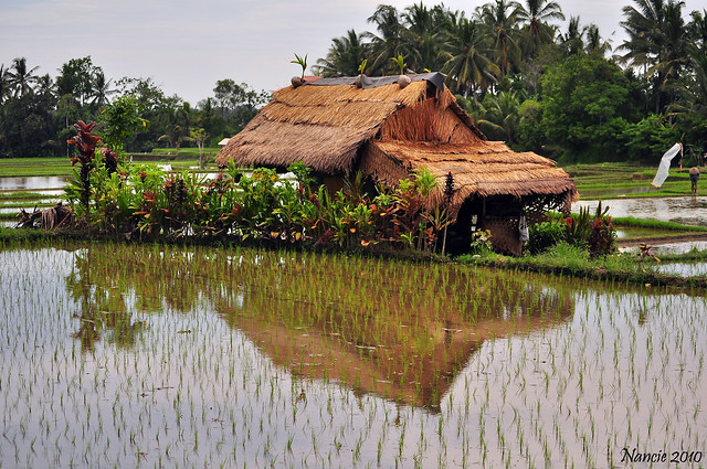 Rice Paddy Paradise