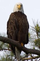 Greens Bayou Bald Eagles - ICU