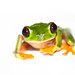 Small photo of Red-eyed Tree Frog (Agalychnis callidryas) lightbox style