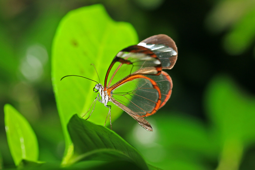 Glasswing butterfly.   IMG_0203-1.jpg