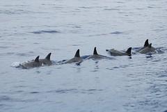 killer whale(0.0), animal(1.0), marine mammal(1.0), ocean(1.0), common bottlenose dolphin(1.0), marine biology(1.0), fauna(1.0), dolphin(1.0), spinner dolphin(1.0),