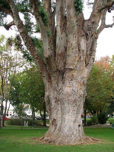 Sonoma Plaza Eucalyptus