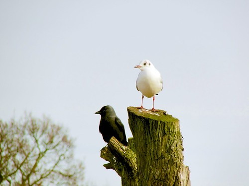 Jackdaw and Gull