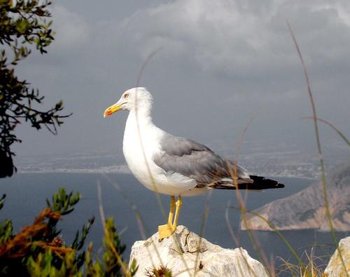 de seagull gaviota rodriguez gaviotaseagullpeñón ifachifachavescormoráncormoranesgaviotasgaciota patiamarillacria gaviotaseagullscalpecalpalicantespaineloy