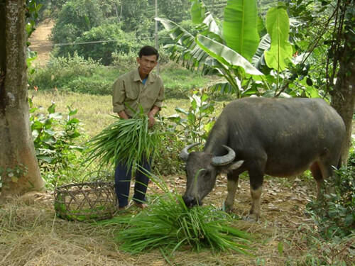 Fodder for water buffaloes in the Philippines