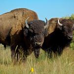 Bisons au Zapata Ranch, près de Great Sand Dunes
