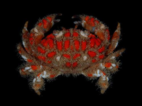 Christmas lights crab (Paractaea rufopunctata)