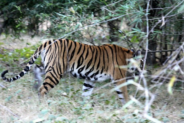 bandhavgarh safari tiger