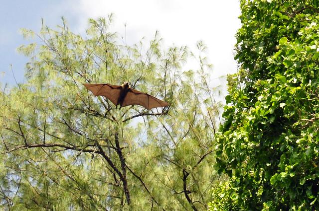 Zorro volador en el archipiélago de Chelbacheb, Islas Roca de Palaos, Micronesia