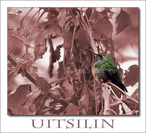 Uitsilin-colibrí