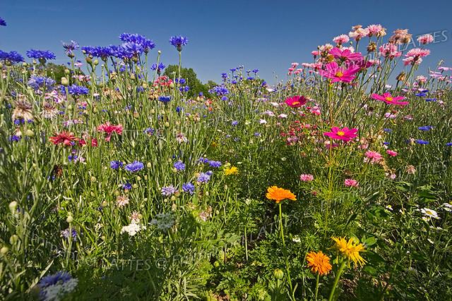 Jach re fleurie puy de d me 63 france flickr - Fleur de jachere ...