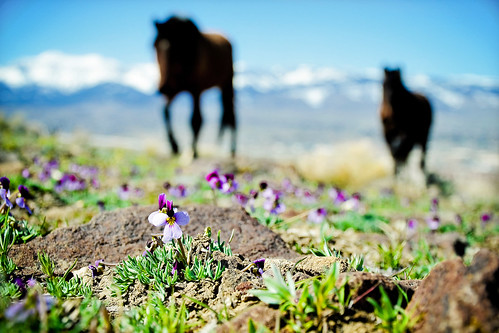 horses landscape nikon bokeh nevada reno wildhorses stallion mustangs lightroom mtrose d90 damonteranch equinephotography nikkorvr18105