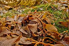 Seaweed/Kelp