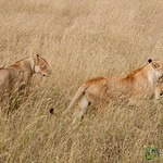 Lion Carrying Away Freshly Killed Antelope - Serengeti, Tanzania