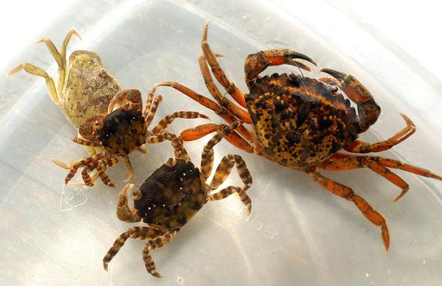 The asian shore crab