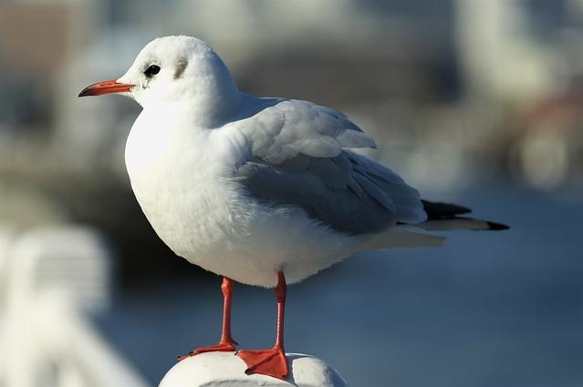 Sea gull @ Yokohama 2