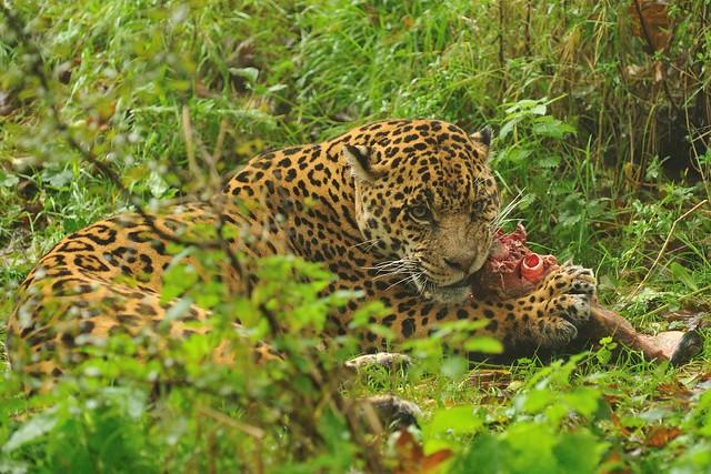 Jaguar Eating