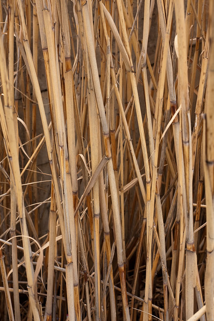 Tall Bamboo Sticks ~ Tall bamboo like straws in an abandoned site flickr