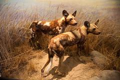 jackal(0.0), dhole(0.0), animal(1.0), mammal(1.0), hyena(1.0), fauna(1.0), lycaon pictus(1.0), wildlife(1.0),