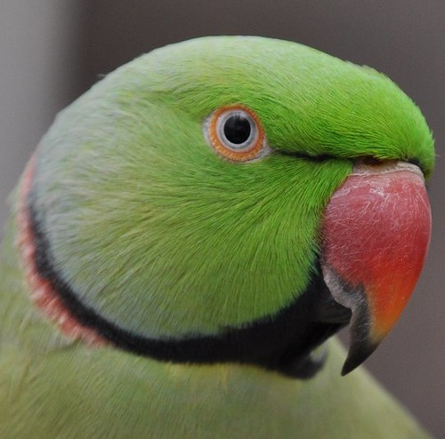 Indian Ringneck Parrot | Flickr - Photo Sharing!