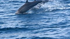 grey whale(0.0), animal(1.0), marine mammal(1.0), sea(1.0), ocean(1.0), common bottlenose dolphin(1.0), marine biology(1.0), wind wave(1.0), dolphin(1.0), striped dolphin(1.0), spinner dolphin(1.0),