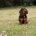 Dachshund German Shepherd Mix Puppies Buford