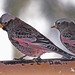 Black Rosy-Finch - Photo (c) Jerry Oldenettel, some rights reserved (CC BY-NC-SA)