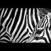 ZEBRAS by VINCENT MOYASHI