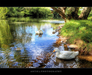 The Geese of Deloraine :: P-HDR