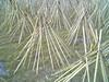 Photo:竹の寒干し - Seasoning bamboos of Takayama // 2010.01.10 - 06 By Tamago Moffle