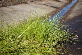 Isolepis inundata plant1