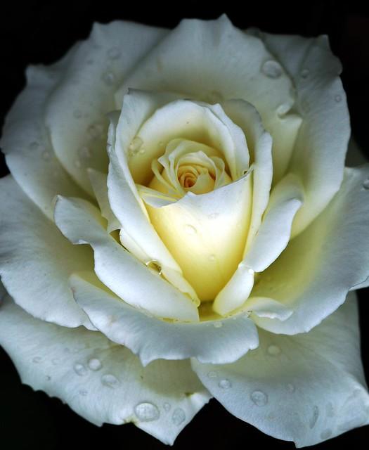White rose, lig...