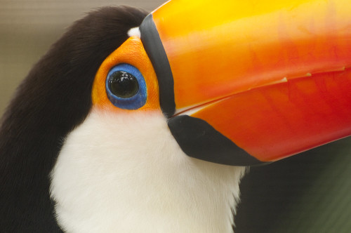 Toco Toucan (ramphastos toco) by Gregory Moine
