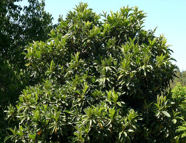 Eriobotrya japonica #1
