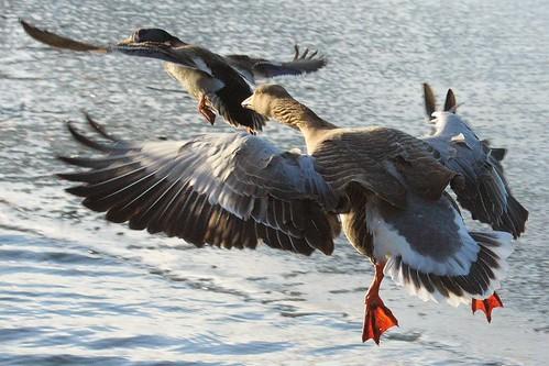 bird nature birds animal canon photography eos scotland angus wildlife goose forfar loch anser greylag amk 450d amksphotos