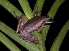animal, amphibian, frog, tree frog, green, fauna, ranidae, wildlife,