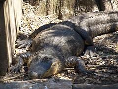 animal, reptile, nile crocodile, fauna, american alligator, alligator,