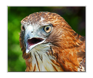 Red Tailed Hawk Up Close--Mouth Open