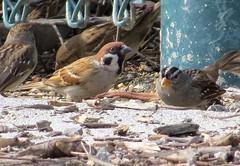 Eurasian Tree Sparrow, Wilmington, CA