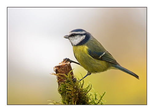 bluetit-on-new-feeder3