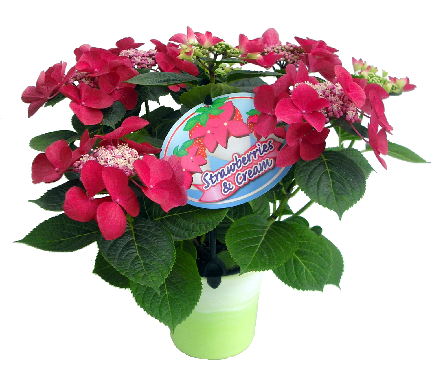 Strawberries And Cream Hydrangea Hydrangea Strawberries And
