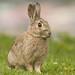 European Rabbit by JJ Harrison