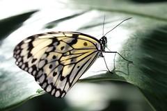 Tree Nymph Butterfly / Idea leuconoe / 大胡麻斑(オオゴマダラ)