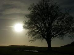 Beech Tree and Distant Hanger