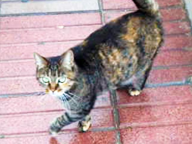 Http siberian cats pendraig com brown torbie siberian cat gemma php